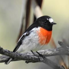 Petroica boodang (Scarlet Robin) at Namadgi National Park - 11 Apr 2021 by HelenCross