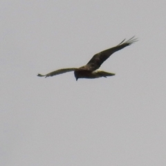 Circus approximans (Swamp Harrier) at Namadgi National Park - 11 Apr 2021 by HelenCross
