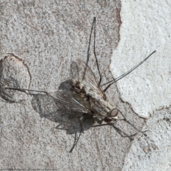 Senostoma sp. (genus) (Bristle Fly) at Mulligans Flat - 13 Apr 2021 by Roger