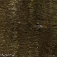 Chelodina longicollis (Eastern Long-neck Turtle) at Callum Brae - 10 Apr 2021 by BIrdsinCanberra