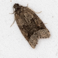 Meritastis lythrodana (A tortrix or leafroller moth) at Melba, ACT - 25 Mar 2021 by Bron