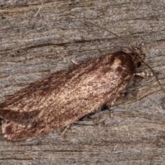 Oenochroa and Artiastis (genera) at Melba, ACT - 8 Apr 2021 by kasiaaus