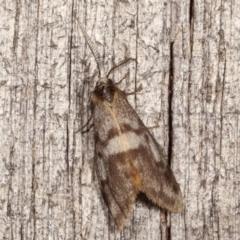 Anestia (genus) (A tiger moth) at Melba, ACT - 8 Apr 2021 by kasiaaus