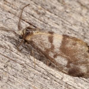 Anestia (genus) at Melba, ACT - 8 Apr 2021