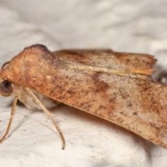 Mnesampela privata (Autumn Gum Moth) at Melba, ACT - 8 Apr 2021 by kasiaaus