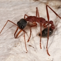 Myrmecia nigriceps (Black-headed bull ant) at Melba, ACT - 8 Apr 2021 by kasiaaus