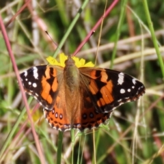 Vanessa kershawi (Australian Painted Lady) at Tennent, ACT - 13 Apr 2021 by RodDeb
