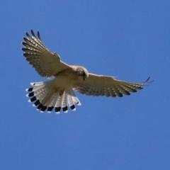 Falco cenchroides (Nankeen Kestrel) at Tharwa, ACT - 13 Apr 2021 by RodDeb