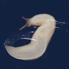 Ambigolimax nyctelia (Striped Field Slug) at Evatt, ACT - 6 Apr 2021 by TimL