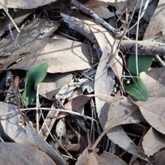 Pterostylis pedunculata (Maroonhood) at Cook, ACT - 10 Apr 2021 by CathB