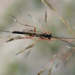 Ichneumonidae sp. (family) (Unidentified ichneumon wasp) at Mount Painter - 8 Apr 2021 by CathB