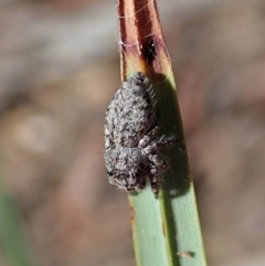 Unidentified Jumping & peacock spider (Salticidae) (TBC) at Aranda, ACT - 11 Apr 2021 by CathB