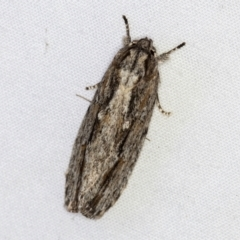 Agriophara platyscia (A Gelechioid moth) at Melba, ACT - 27 Mar 2021 by Bron