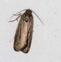 Athetis tenuis (A Noctuid moth) at Melba, ACT - 28 Mar 2021 by Bron