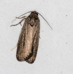 Athetis tenuis (A Noctuid moth) at Melba, ACT - 28 Mar 2021 by Bron