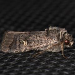 Proteuxoa (genus) at Melba, ACT - 29 Mar 2021