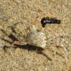 Unidentified Crab (TBC) at Culburra Beach, NSW - 28 Mar 2021 by Christine