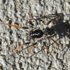 ZODARIIDAE (Unidentified ant spider) at Morton National Park - 28 Mar 2021 by Christine