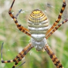 Argiope trifasciata (Banded orb weaver) at Hall Cemetery - 14 Apr 2021 by tpreston