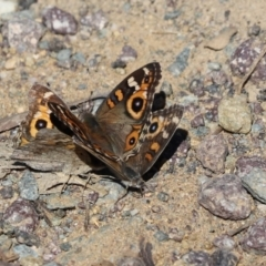 Junonia villida (Meadow Argus) at Cook, ACT - 13 Apr 2021 by Tammy