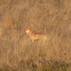 Canis lupus (Dingo / Wild Dog) at Namadgi National Park - 10 Apr 2021 by trevsci