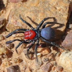 Missulena occatoria (Red-headed Mouse Spider) at Dryandra St Woodland - 29 Mar 2021 by ConBoekel