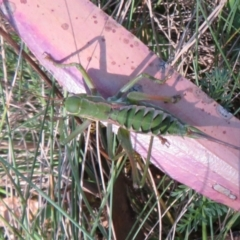 Chlorodectes montanus (Montane green shield back katydid) at Namadgi National Park - 3 Apr 2021 by Christine