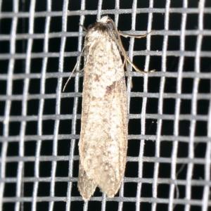 Lepidoscia euryptera at O'Connor, ACT - 5 Apr 2021