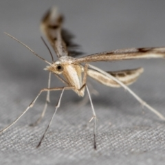 Platyptilia celidotus (Plume Moth) at Melba, ACT - 28 Mar 2021 by Bron