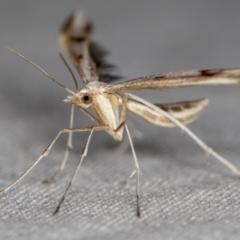 Platyptilia celidotus (Plume Moth) at Melba, ACT - 28 Mar 2021 by Bron