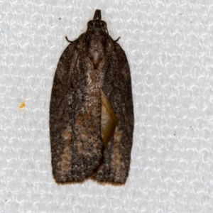 Thrincophora inconcisana at Melba, ACT - 30 Jan 2021