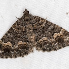 Chrysolarentia gypsomela (Gypsum Carpet) at Melba, ACT - 30 Mar 2021 by Bron
