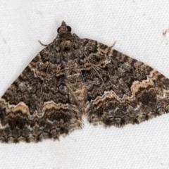 Chrysolarentia gypsomela (Gypsum Carpet) at Melba, ACT - 30 Mar 2021 by Bron