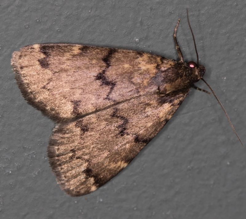 Mormoscopa phricozona at Melba, ACT - 31 Mar 2021