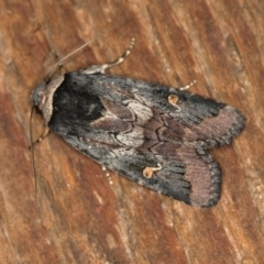 Proteuxoa cinereicollis (A noctuid or owlet moth) at Melba, ACT - 30 Mar 2021 by Bron