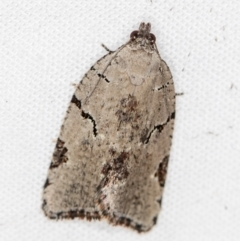 Meritastis pyrosemana (A Tortricid moth) at Melba, ACT - 30 Mar 2021 by Bron