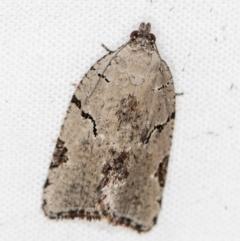 Meritastis pyrosemana (A Tortricid moth) at Melba, ACT - 30 Mar 2021 by Bron