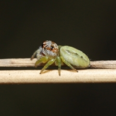 Unidentified Jumping & peacock spider (Salticidae) (TBC) at Acton, ACT - 3 Mar 2021 by TimL