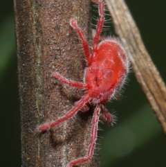 Trombidiidae sp. (family) (Red velvet mite) at ANBG - 2 Apr 2021 by TimL