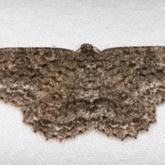 Ectropis fractaria (Ringed Bark Moth) at Melba, ACT - 9 Apr 2021 by kasiaaus