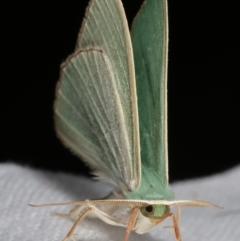 Prasinocyma semicrocea (Common Gum Emerald) at Flynn, ACT - 12 Apr 2021 by kasiaaus