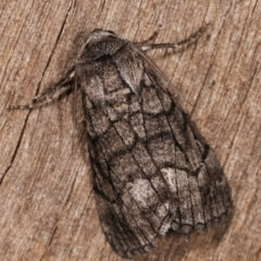 Stibaroma undescribed species (A Line-moth) at Melba, ACT - 12 Apr 2021 by kasiaaus