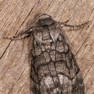 Stibaroma undescribed species at Melba, ACT - 13 Apr 2021