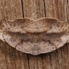 Sophta concavata at Melba, ACT - 13 Apr 2021