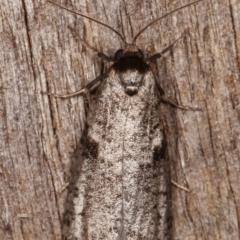 Lepidoscia euryptera at Melba, ACT - 13 Apr 2021