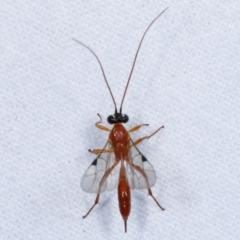 Ichneumonidae sp. (family) (TBC) at Melba, ACT - 13 Apr 2021 by kasiaaus