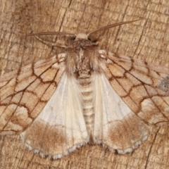 Stibaroma undescribed species (A Line-moth) at Melba, ACT - 13 Apr 2021 by kasiaaus