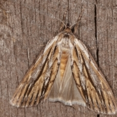 Ciampa arietaria (Forked Pasture-moth) at Melba, ACT - 13 Apr 2021 by kasiaaus