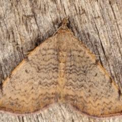 Chrysolarentia mecynata (Mecynata Carpet Moth) at Melba, ACT - 13 Apr 2021 by kasiaaus