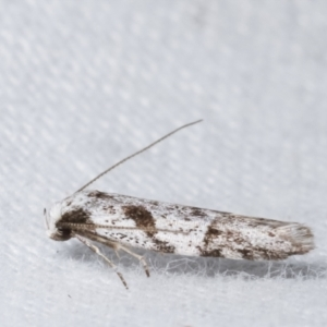 Oxythecta (genus) at Melba, ACT - 14 Apr 2021